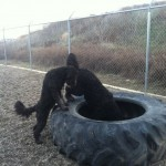 Dogs exploring tractor tire