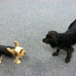 Yorki and Black Dog